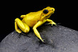 Golden poison frog / Phylloates terribilis