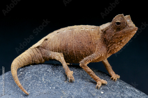 Plated leaf chameleon / Brookesia stumpffi