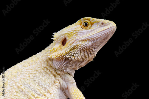 Leucistic bearded dragon / Pogona vitticeps