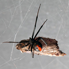 Spider, Red-back with prey suspended in its web