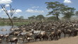 Herd of wildebeest and zebras resting at the river