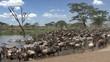 Herd of wildebeest and zebra resting, Serengeti, Tanzania