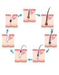 毛周期毛の一生7段階