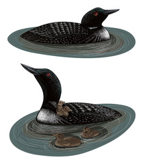 Two swimmig loons