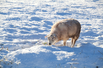 Dutch sheep on winter pasture