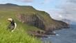 Puffin in grass on Mykines, Faroe Islands