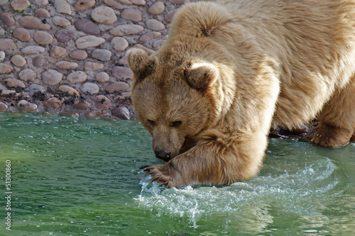brown bear playing with the water