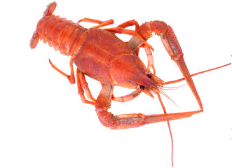 red crawfish
