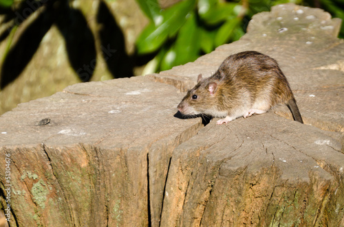 Brown rat on log