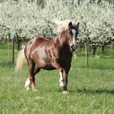 Perfect draft horse running in front of flowering trees