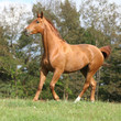 Galloping horse with beautiful chestnut color on pasturage