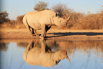 Black Rhino - Rare and Endangered Species of Africa