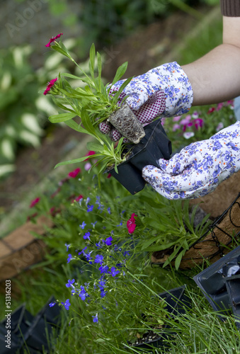 gardener pulls out annual flower from holder to plant