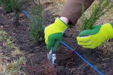 Hecke pflanzen Eibe - planting a taxus hedge 02