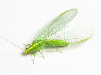 Chrysopidae green lacewing