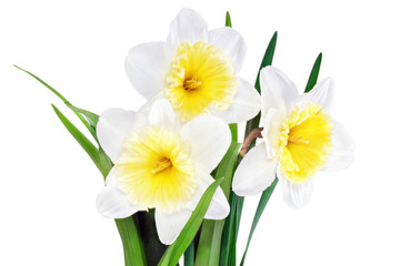 Beautiful spring flowers : narcissus (Daffodil).
