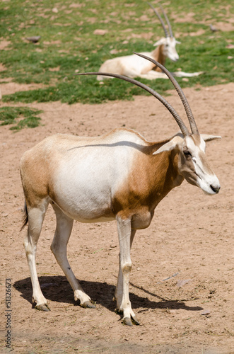 Scimitar-horned Orix in a zoo