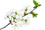 Branch of sprig with blossoms. Isolated on white background.