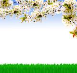 Kirschbaumblüte im Garten