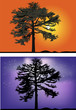 green pines at night and sunset