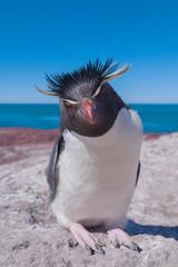 Rockhopper penguin, Puerto Deseado, Patagonia, Argentina