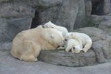 Sleeping family of polar bears