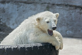 Yawning polar bear cub on tire bed