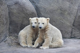 Brotherhood of polar bear cubs