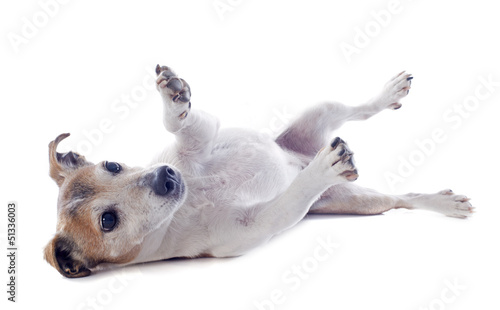 playing jack russel terrier