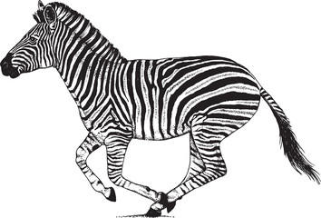 Black and white vector drawing of a Zebra running