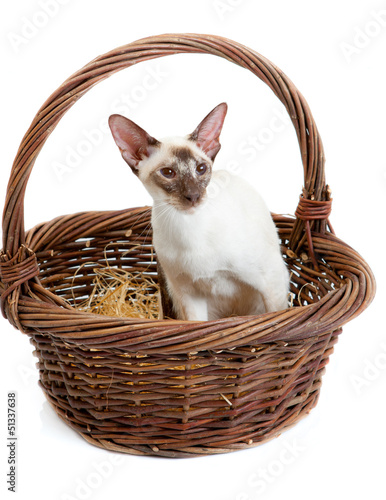 Siamese Cat sitting in a big basket