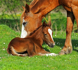 Horse - 51338837