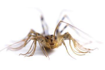 house centipede (Scutigera coleoptrata). Macro