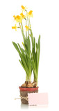 Beautiful yellow daffodils in flowerpot isolated on white
