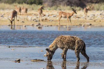 Snared Hyena at Waterhole