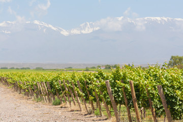 Vineyard, Mountains, Mendoza, Argentina