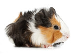 Crazy looking guinea pig pet rodent poster