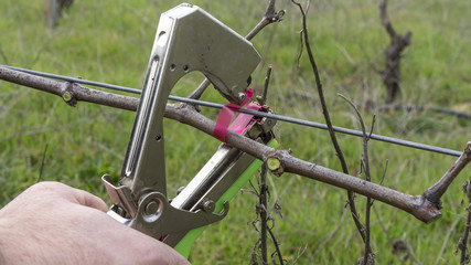 cutting and tying branches in vineyard
