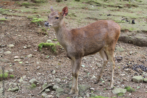 a small brown deer with smooth fur staring dully at something