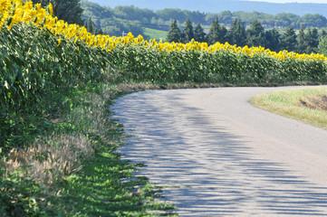 petite route goudronnée et champ de tournesol
