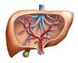 canvas print picture - Human Liver (Leber Mensch)