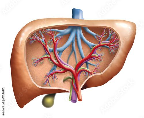 canvas print picture Human Liver (Leber Mensch)