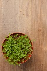 Frische Kresse im Blumentopf auf einem Holzbrett