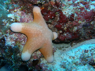 maldives - diving - sea star