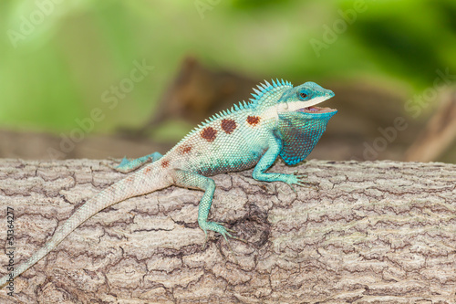 The portrait of wild lizard (BLUE-CRESTED LIZARD)