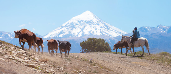 Gauchos and herd of cows on the background the volcano Lanin