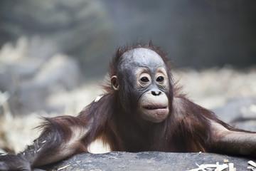 sad baby orangutan