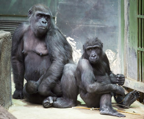 the family of gorillas