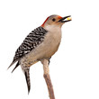 red bellied woodpecker eats a kernel of corn