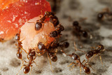 Group of ants on piece of food